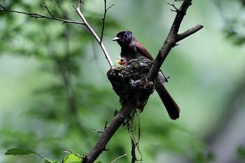 サンコウチョウの雛と親鳥メス