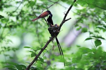 サンコウチョウの雛と親鳥