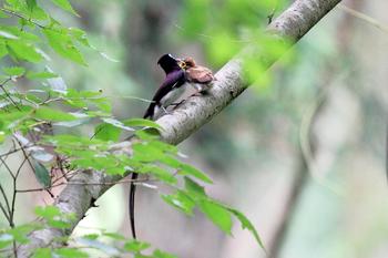 巣立ち後のサンコウチョウの雛とオス