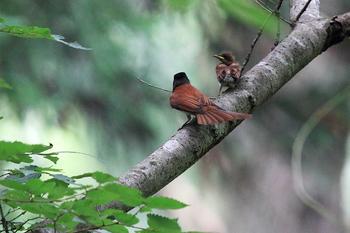巣立ち後のサンコウチョウの雛とメス