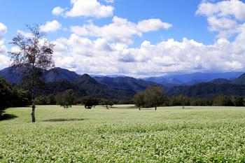 高杖高原のそば畑2