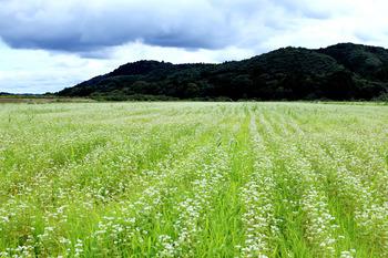 御前山伊勢畑のソバ畑